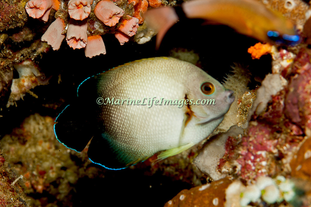 Pearl Scaled Angelfish inhabit reefs. Picture taken Triton Bay, West Papua, Indonesia.