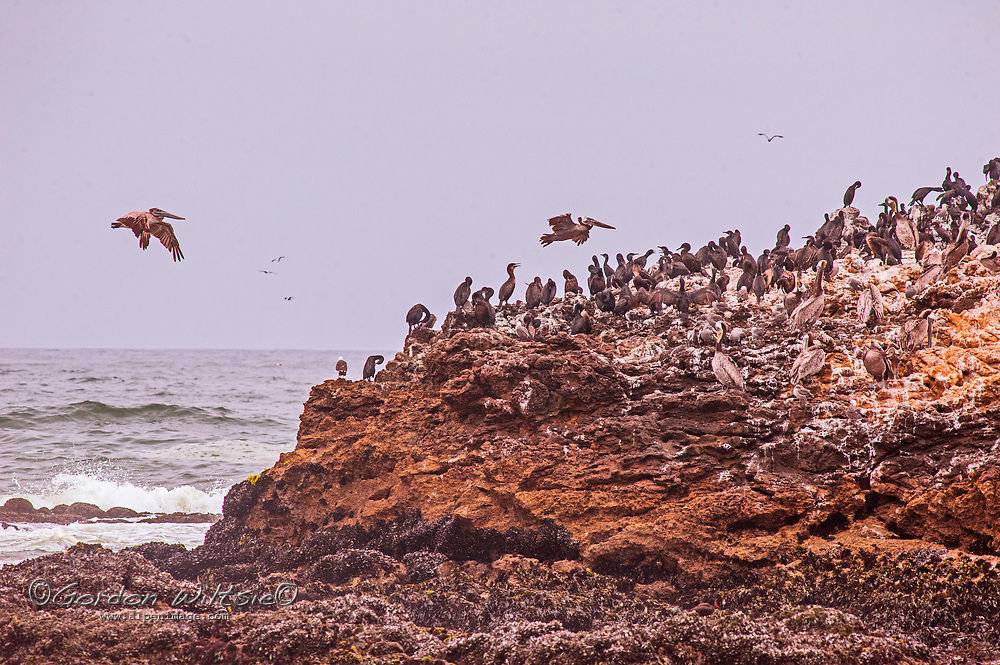 Brown Pelicans fly over cormorants perching on a rock in the Pacific Ocean near Pescadero, California.