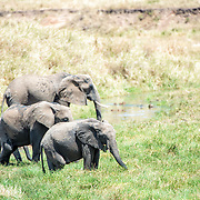 A family of elephants moves across a marsh at Tarangire National Park in northern Tanzania not far from Ngorongoro Crater and the Serengeti.
