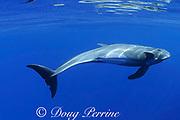 pygmy killer whale, Feresa attenuata, Kona, Hawaii, U.S.A. ( Central Pacific Ocean )