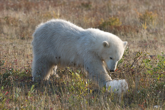 Polar Bear (Ursus maritimus) a cub plays wit a pice of ice thrown out by hunting lodge.