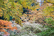 Japanese maple tree leaves glow in autumn at UW Arboretum. Washington Park Arboretum is a joint project of the University of Washington, the Seattle Department of Parks and Recreation, and the nonprofit Arboretum Foundation, in the State of Washington, USA. Photographed October 22.