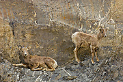 Young American or Rocky Mountain bighorn sheep (Ovis canadensis canadensis) on cliff ledge in Jasper National Park<br />