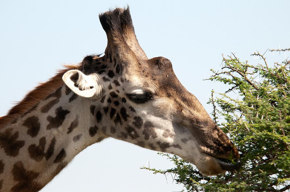 Closeup of eating giraffe