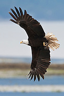 An adult Bald Eagle (Haliaeetus leucocephalus) flies at Big Beef Creek near the Hood Canal of Puget Sound, Washington, USA  It has just dropped half of a Pacific Oyster shell but still has the remaining half containing the oyster.