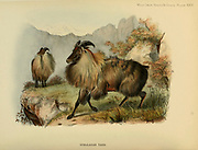The Himalayan tahr (Hemitragus jemlahicus) is a large even-toed ungulate native to the Himalayas in southern Tibet, northern India, western Bhutan and Nepal. colour illustration From the book ' Wild oxen, sheep & goats of all lands, living and extinct ' by Richard Lydekker (1849-1915) Published in 1898 by Rowland Ward, London
