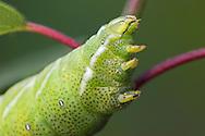 Kentish Glory - Endromis versicolora