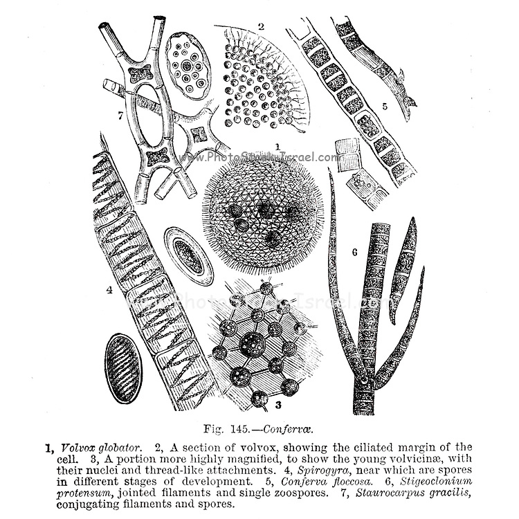 Plant and fungi microscopy. 19th century artwork of microscopic details of fungi, algae and lichens seen under a microscope From the book '  The microscope : its history, construction, and application ' by Hogg, Jabez, 1817-1899 Published in London by G. Routledge in 1869 with Illustrations by TUFFEN WEST