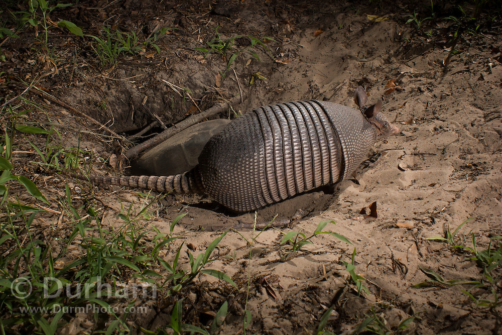 A nine-banded armadillo (Dasypus novemcinctus) foraging at dusk in near the burrow of a gopher tortoise (Gopherus polyphemus) in Timucuan Ecological and Historic Preserve, Florida.
