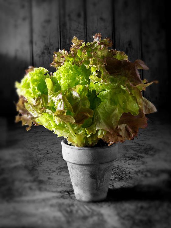 Lollo Rosso & Lollo Baindo living Lettuce
