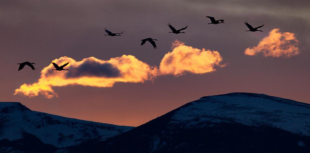 Sandhill Cranes at sunset, Bosque del Apache Wildlife Refuge
