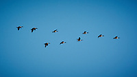 Canada Geese in Flight. Late autumn monthly Sunday walk in the park. Hobler Park, Montgomery Township, New Jersey. Image taken with a Nikon 1 V3 camera and 70-300 mm VR lens.