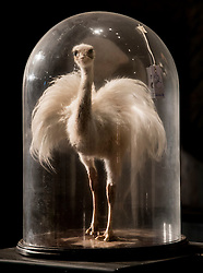 © Licensed to London News Pictures. 17/11/2016. Billingshurst, UK. A white Rhea bird is displayed in a glass dome at Summers Place Auctions ahead of their sale in their 'Evolution' Auction taking place on November 22, 2016 - which will also see a rare dodo skeleton up for sale.   Photo credit: Peter Macdiarmid/LNP
