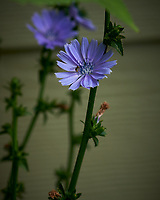 Hoverfly on a Chicory Flower. Image taken with a Nikon D850 camera and 105 mm f/2.8 VR macro lens