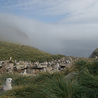 Black-Browed Albatrosses nest in a rookery called the Devil's Nose on West Point Island in Britain's Falkland Islands.