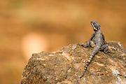 Stellagama (Stellagama stellio) AKA stellion, hardim, hardun, star lizard, painted dragon, starred agama, sling-tailed agama and roughtail rock agama. Basking in the sun on a rock, Israel