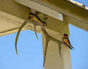 Barn Swallow pair