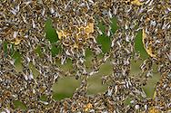 DEU, Deutschland: Biene, Honigbiene (Apis mellifera), Bienen bilden lebende Ketten wenn neue Waben angelegt oder defekte Waben ausgebessert werden sollen, sie bilden Ketten und verhaken sich gegenseitig mit ihren Beinen, die Bedeutung dieses auffälligen Bienenverhaltens ist noch ungeklärt, Bienenstation an der Bayerischen Julius-Maximilians-Universität Würzburg | DEU, Germany: Bee, Honey-bee (Apis mellifera), building chains out of bees, bees building living chains if  damaged honeycombs must be rebuild or new honeycombs must be build, they are hooking up the legs of each other, the meaning of this distinctive behaviour is still unknown, Beestation at the Bavarian Julius-Maximilians-University Würzburg