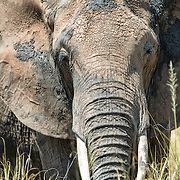 Close-up view of an elephant at Tarangire National Park in northern Tanzania not far from Ngorongoro Crater and the Serengeti.