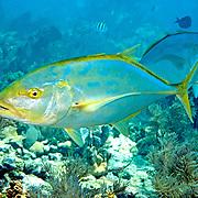 Yellow Jack inhabit open water just above reefs in Tropical West Atlantic; picture taken Key Largo, FL.