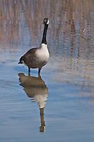 Canada Goose (Branta canadensis) The most widespread and commonly seen goose in North America.  Colorado.