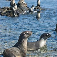 Southern Fur Seals cavort on rocks in Godhul Bay, South Georgia, Antarctica.