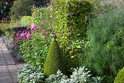 The potager at De Boschhoeve. Cobaea scandens growing on metal support. Clipped box cone topiary.