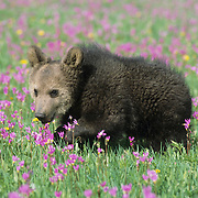 Alaskan Brown Bear (Ursus middendorffi) spring cub. Captive Animal