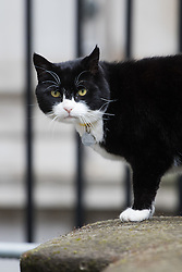 Downing Street, London, August 2nd 2016. Tensions appear to be ongoing in Downing Street as Larry the cat from No. 10 and Palmerston, newly resident at the Foreign Office continue their territorial feud. PICTURED: Palmerston patrols Downing Street.
