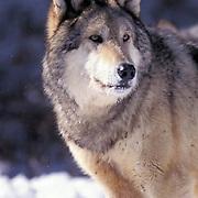 Gray Wolf, (Canis lupus) Portrait. Winter. Montana.  Captive Animal. .Gray Wolf, (Canis lupus) Portrait. Winter. Montana. Captive.