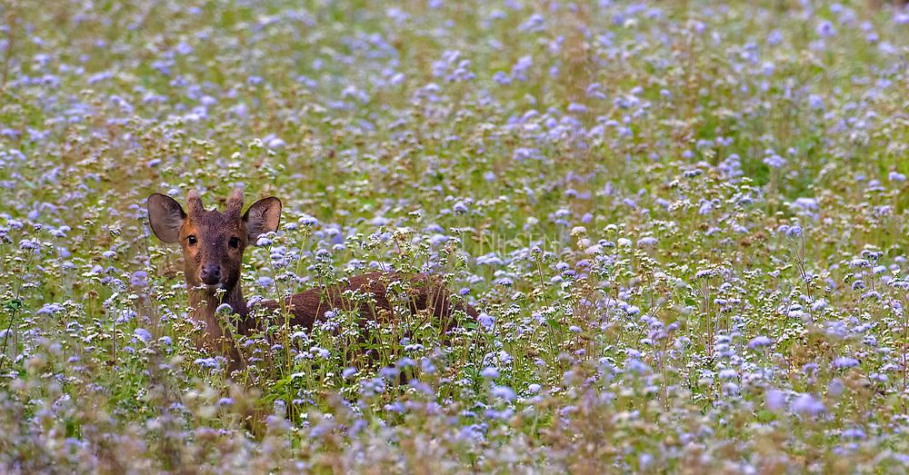 Indian hog deer (Hyelaphus porcinus) in a field of flowers. Kaziranga NP, Assam, India.
