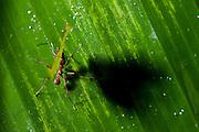 Leaf-cutter Ant (Atta sp.)<br /> Mapari<br /> Rupununi<br /> GUYANA<br /> South America
