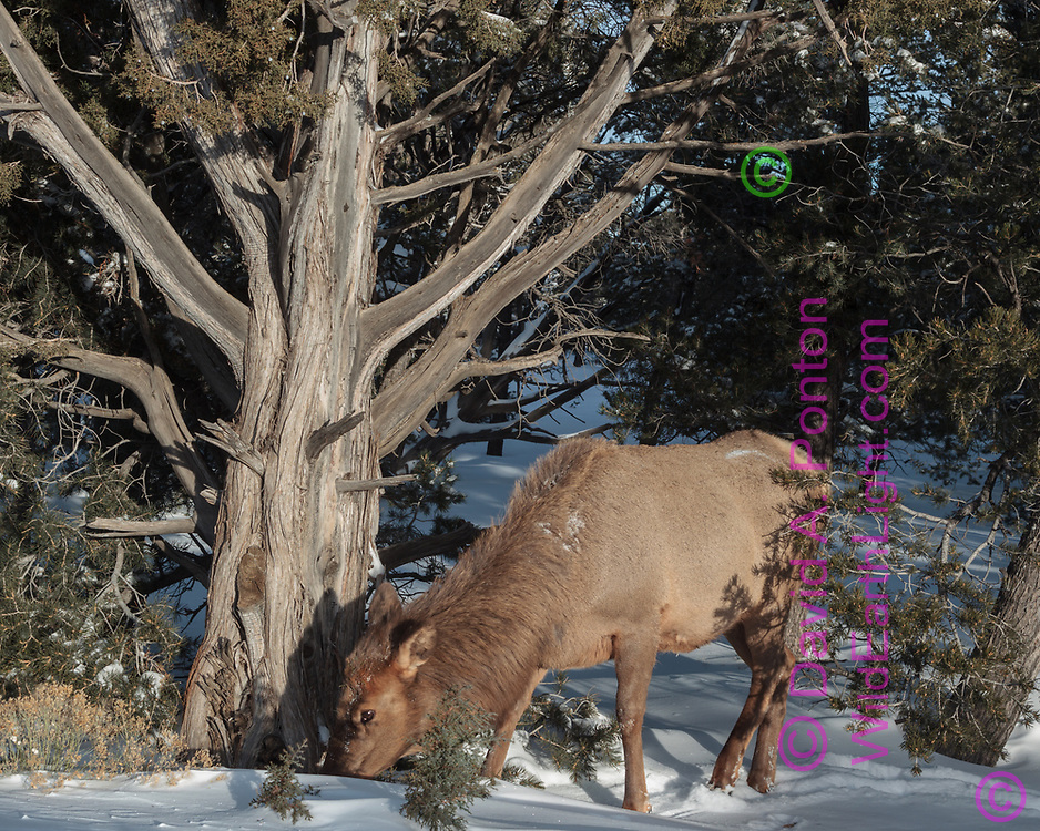 Cow elk finds edibles at the base of a large Utah juniper tree, where there is less snow and it receeds quickly, pinon-juniper woodland, south rim, Grand Canyon National Park, © David A. Ponton
