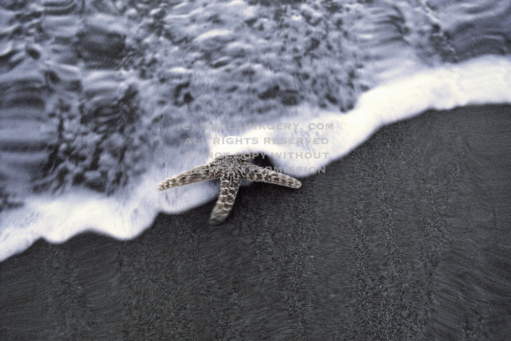 Image of a starfish on the beach in Makena, Maui, Hawaii, Hawaiian Islands (toned black & white conversion) by Andrea Wells