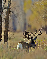 Monster  Mule Deer in Grand Teton National Park, Jackson Hole, Wyoming, trophy, big,<br /> <br /> A trophy buck ~ through the years.<br /> http://daryl-hunter.net/a-trophy-buck-through-the-years