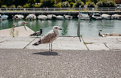 THEMENBILD - eine Möwe im Kanal von Rijeka, aufgenommen am 14. August 2019 in Rijeka, Kroatien // a seagull in the Rijeka Canal, pictured in Rijeka, Croatia on 2019/08/14. EXPA Pictures © 2019, PhotoCredit: EXPA/Stefanie Oberhauser