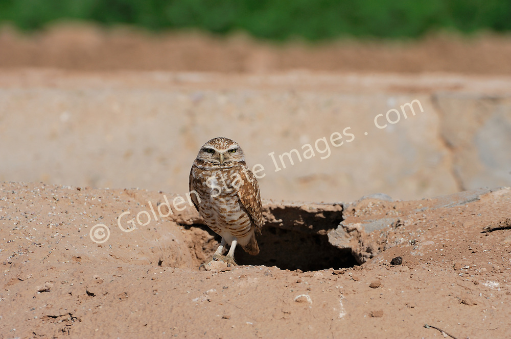 Small ground dwelling Owl with long legs a round head yellow eyes and white eyebrows. Sandy colored on the head brown with white speckling on breast and wings. <br /> <br /> The Burrowing Owl nests in a hole on the ground. They are able to dig their own but much prefer using those left by skunks and other small mammals.    <br /> <br /> Often easy to spot because they are active in daylight and nest on the ground in burrows often in dirt berms along roads in agricultural areas.    <br /> <br /> Range: In North America mid-western states Southern California and Mexico    <br /> <br /> Species: Athene cunicularia