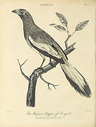 Rufous Magpie of Bengal Copperplate engraving From the Encyclopaedia Londinensis or, Universal dictionary of arts, sciences, and literature; Volume V;  Edited by Wilkes, John. Published in London in 1810