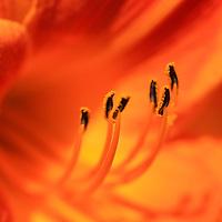 """Vivacious Orange Lily""<br /> <br /> Bright and lively orange lily macro!!<br /> <br /> Flowers and Wildflowers by Rachel Cohen"
