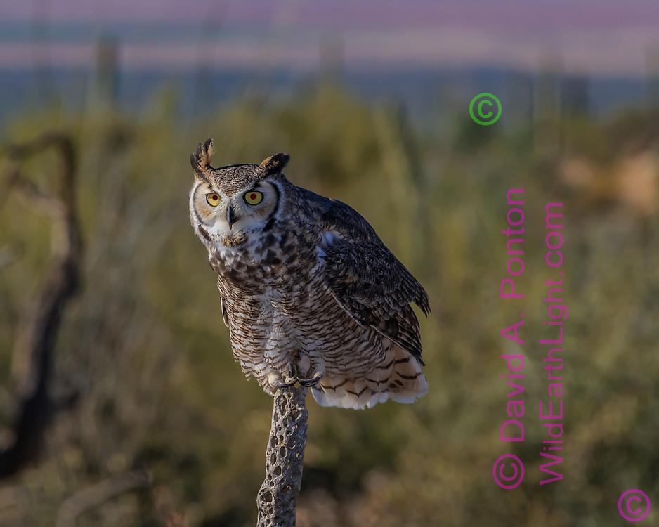 Great-horned owl just landed on a choya cactus skeleton, Sonoran Desert habitat, AZ