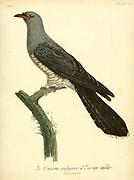 European Cuckoo from the Book Histoire naturelle des oiseaux d'Afrique [Natural History of birds of Africa] Volume 5, by Le Vaillant, Francois, 1753-1824; Publish in Paris by Chez J.J. Fuchs, libraire 1799