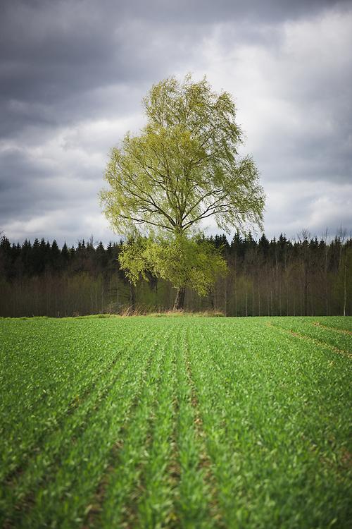The flourishing green of birch tree (Betula pendula) and agricultural field in cloudy spring day, Mazgramzda, Kurzeme, Latvia Ⓒ Davis Ulands | davisulands.com