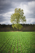 The flourishing green of birch tree (Betula pendula) and agricultural field in cloudy spring day, Mazgramzda, Kurzeme, Latvia Ⓒ Davis Ulands   davisulands.com