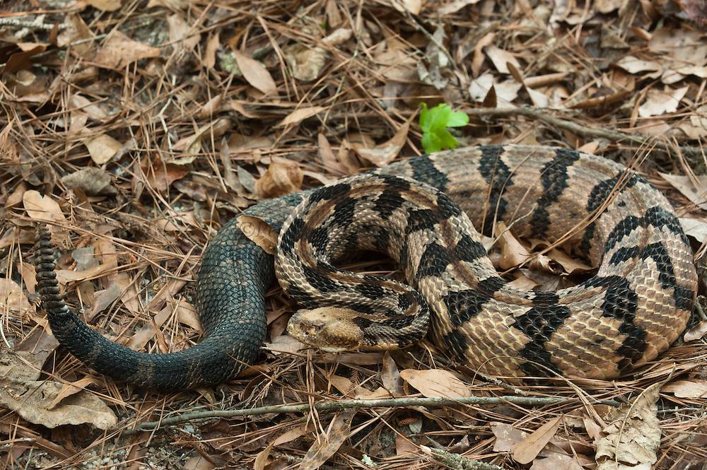 Canebrake or Timber Rattlesnake (Crotalus horridus) Adult, MANIPULATED, CAPTIVE<br /> The Orianne Indigo Snake Preserve<br /> Telfair County. Georgia<br /> USA<br /> HABITAT & RANGE: Coastal Habitat. South Eastern USA