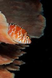 Cirrhitichthys oxycephalus, Gefleckter Bueschelbarsch auf Schwamm, spotted hawkfish on sponge, Tulamben, Bali, Indonesien, Indopazifik, Indonesia Asien, Indo-Pacific Ocean, Asia