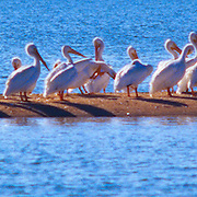 White pelicans gather on a sand bar in Chokoloskee Bay in Everglades National Park, FL.