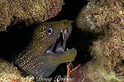undulated moray eel, Gymnothorax undulatus, at night, Black Rock, Kaanapali, West Maui, Hawaii ( Pacific )