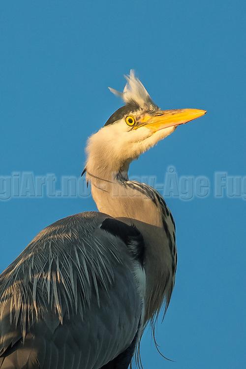 Grey Heron with crew cut | Gråhegre med piggsveis