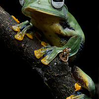 Perhaps one of the most beautiful of all Borneo's frogs: the Borneo Flying Frog (Rhacophorus borneensis). These gliding amphibians spend most of their life in the tree canopy, only rarely descending to ground level. Sarawak, Malaysia (Borneo).