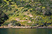 Giant coreopsis on Santa Cruz Island, Channel Islands National Park, California USA